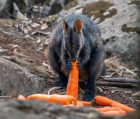 В Австралії з вертольотів скидають тисячі кілограмів овочів, щоб нагодувати тварин після пожеж