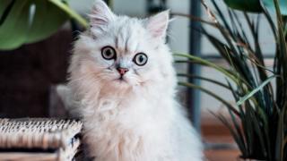 Пухнаста композиторка: кішка створює мелодії, які діють краще заспокійливого