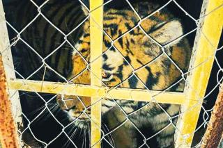 У Києві тримали під замком шість голодних тигрів: стала відома доля тварин