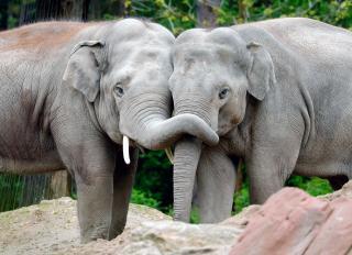 Конопляна терапія: у зоопарку Варшави придумали, як врятувати слонів від стресу