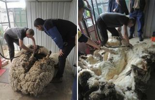 Як виглядає вівця, яка відбилася від стада?