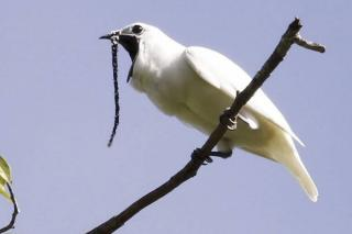 На півночі Амазонки знайшли найгучнішу пташку на Землі