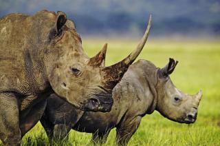 Штучний ріг носорога