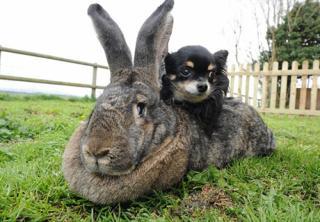 Кролики-гіганти в США
