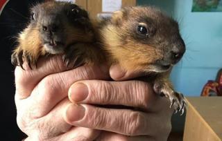 У Львівському еколого-натуралістичному центрі вперше народилися бабаки (фото)