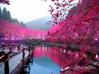 У Японії зацвіла сакура