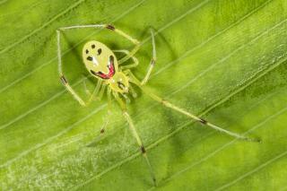 Усміхненого павука знайшли на Гавайських островах