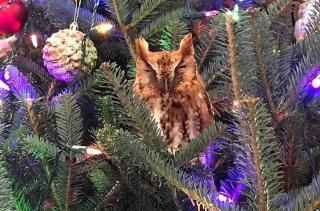 Сім'я з США знайшла у своїй різдвяній ялинці справжню сову. Птах просидів там тиждень